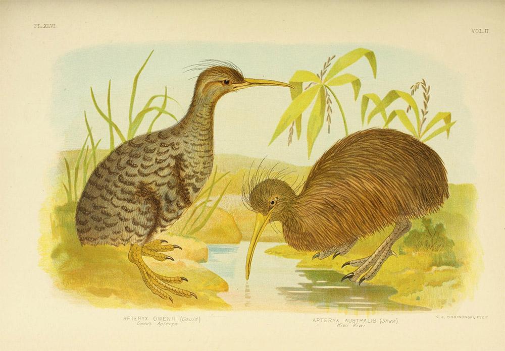 island-conservation-kiwi-illustration-new-zealand