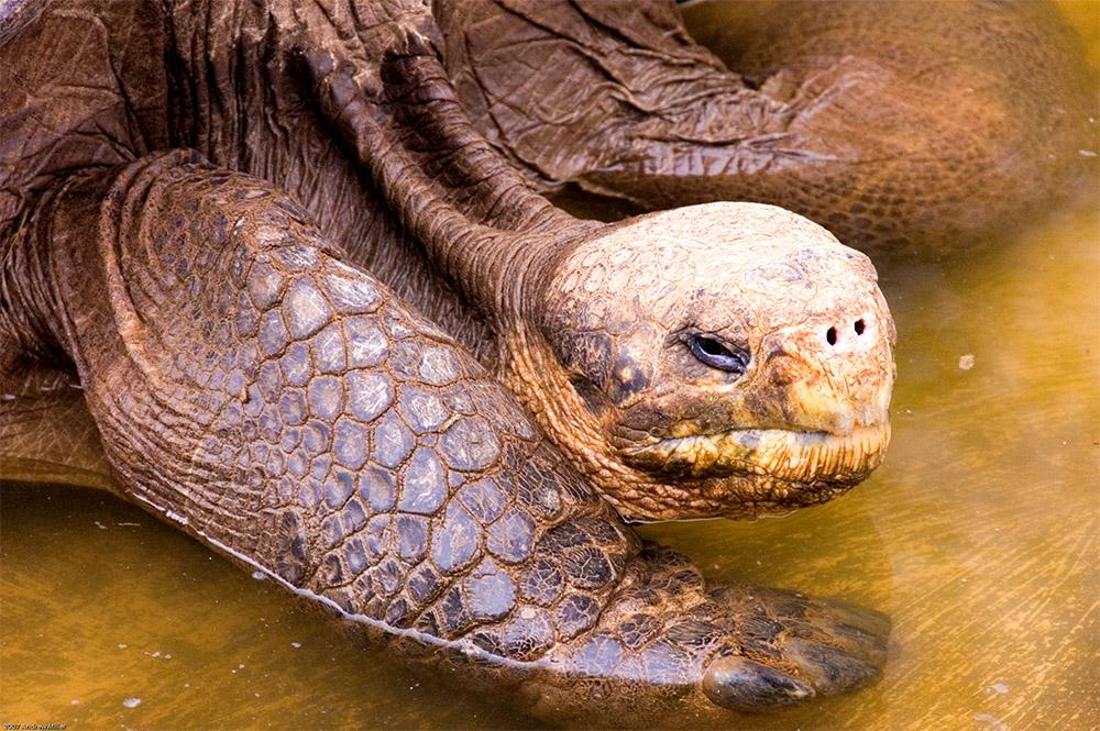 island-conservation-floreana-tortoise-wolf-island