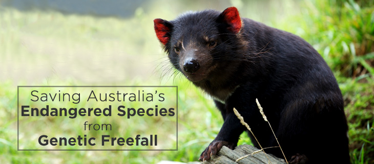 island-conservation-genetic-diversity-tasmanain-devil-feat