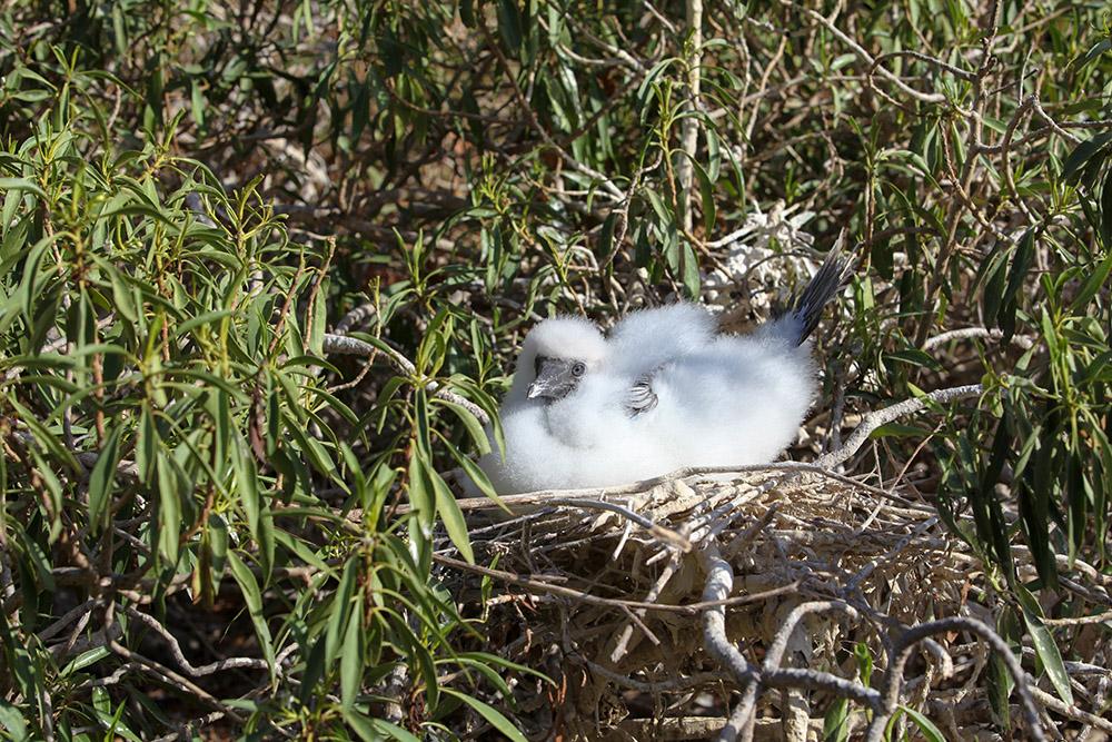 island-conservation-lehua-rat-poison-drop-pilot-whales-seabird-chick