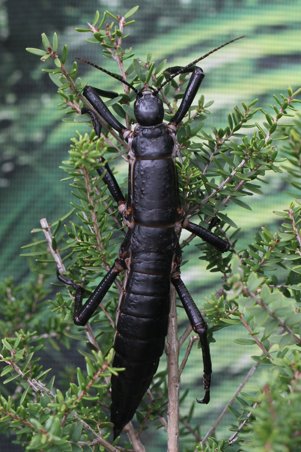 island-conservation-lord-howe-stick-insect-tree-lobster