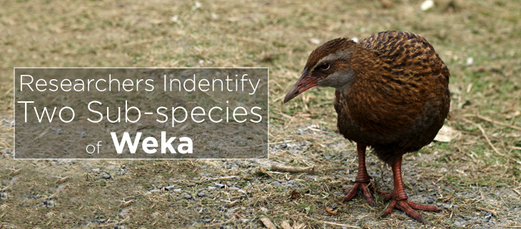 island-conservation-new-zealand-weka-feat