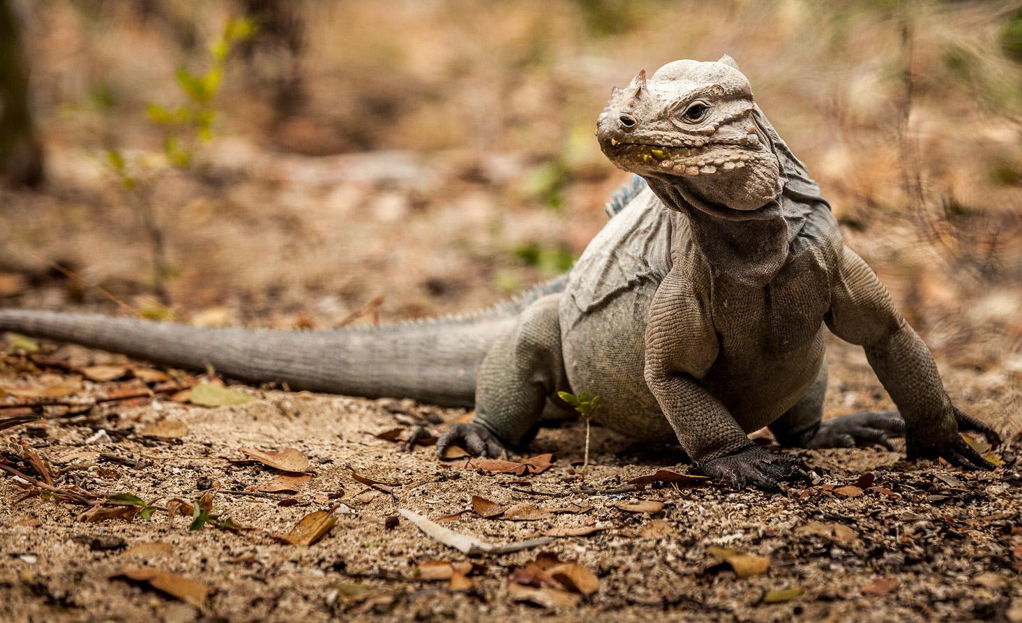 Island Conservation rhinoceros iguana cabritos island dominican republic - Francisco Javier Tadeo Domínguez Britto