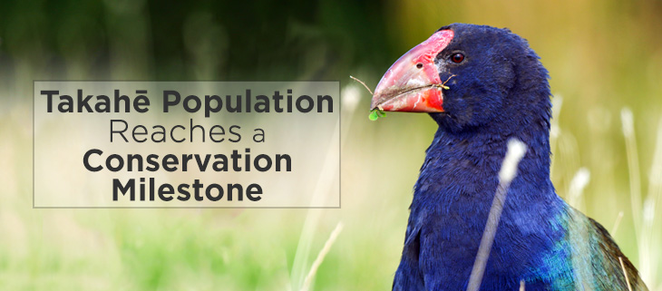 island-conservation-takahe-feat