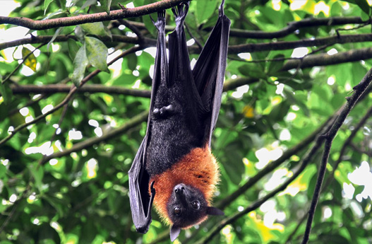 island conservation palau flying fox