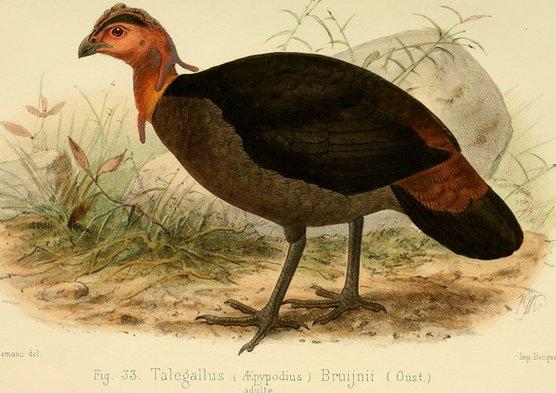 island-conservation-Waigeo-Brushturkey