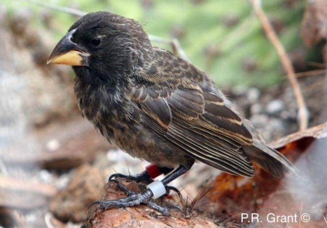 island-conservation-big-bird-galapagos-finch