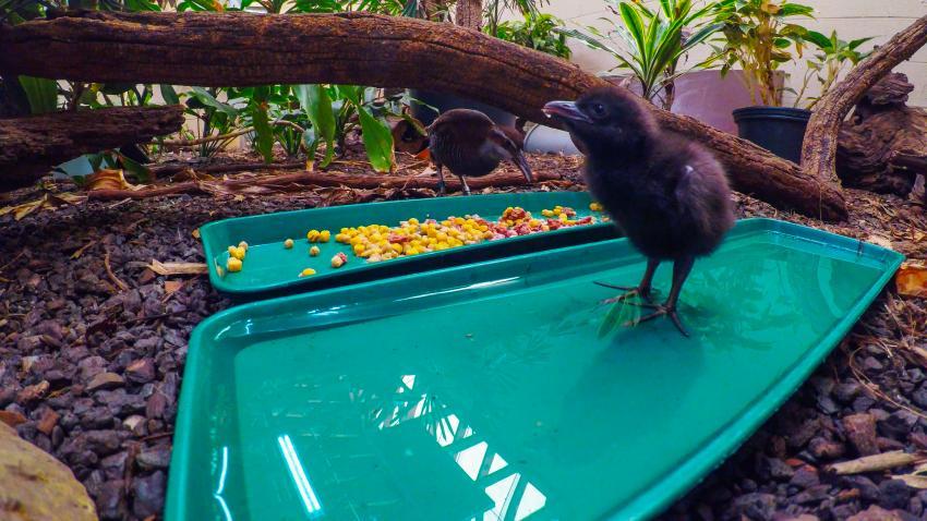 island-conservation-guam-rail-chick