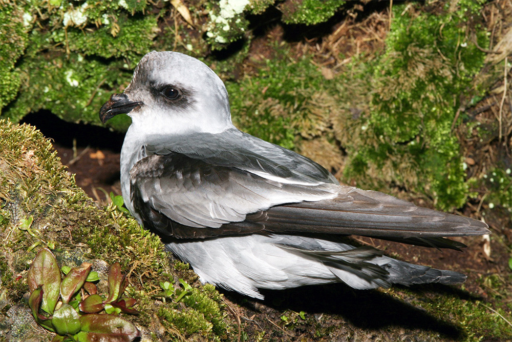 island-conservation-fork-tailed-storm-petrel-haida-gwaii