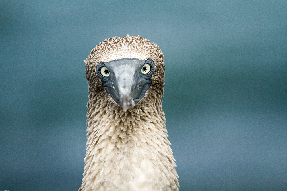 island-conservation-preventing-extinctions-giving-tuesday-blue-footed-booby