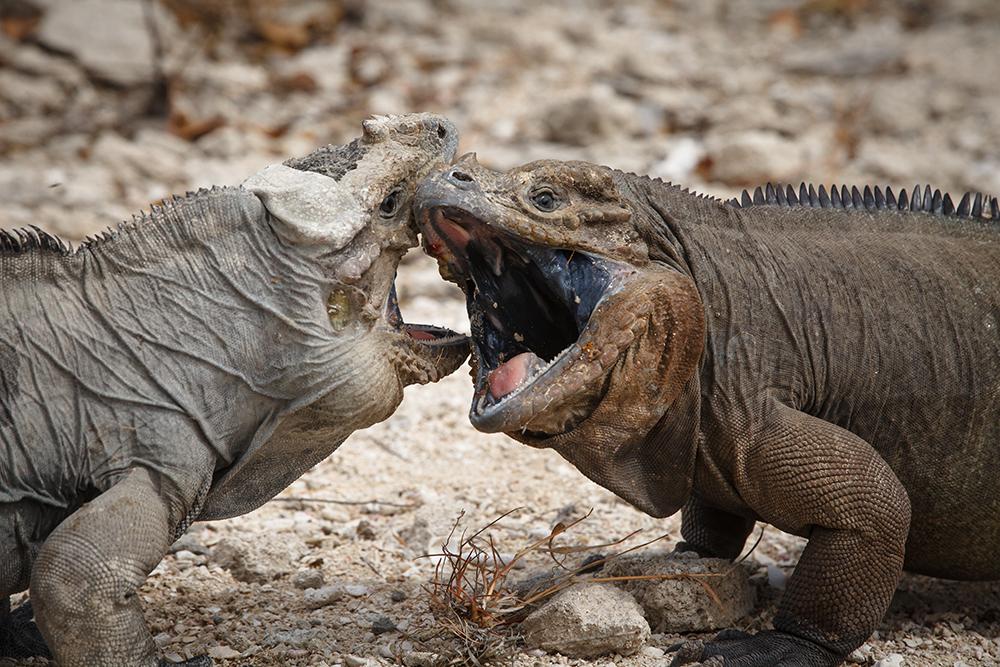 island-conservation-preventing-extinctions-giving-tuesday-cabritos-iguanas