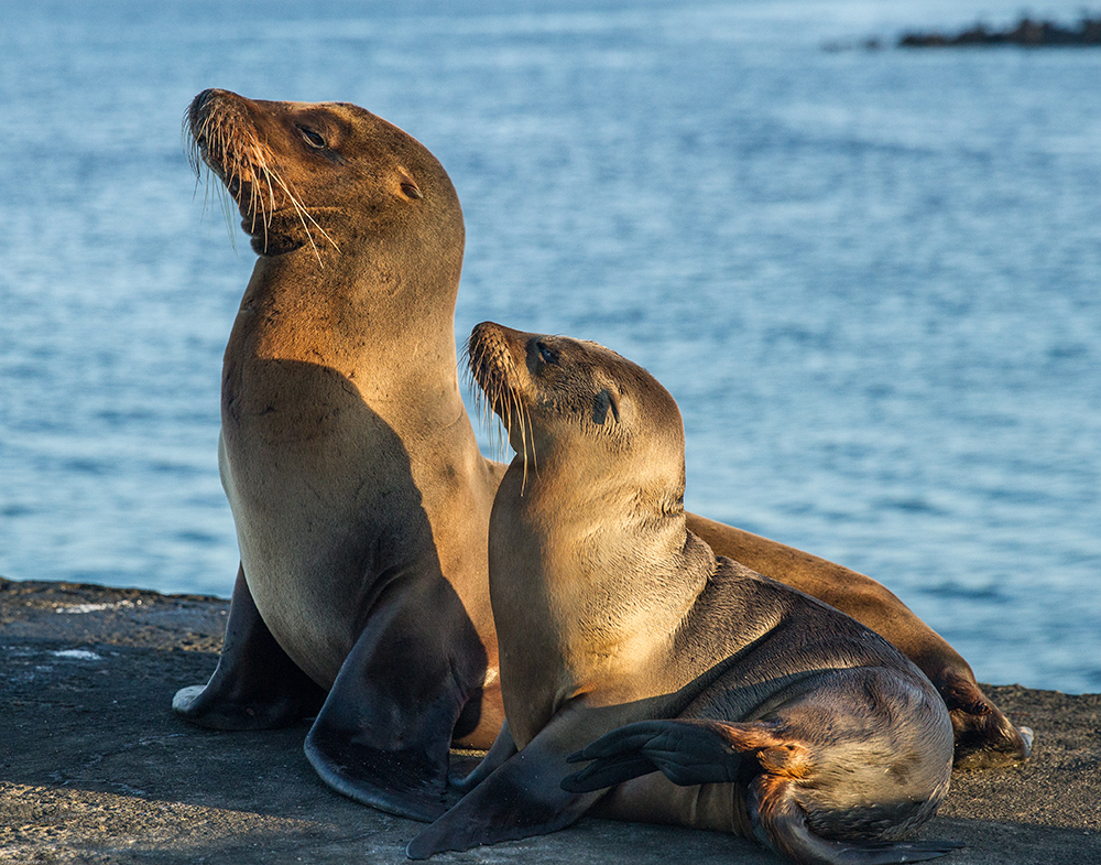 island-conservation-preventing-extinctions-giving-tuesday-sea-lions