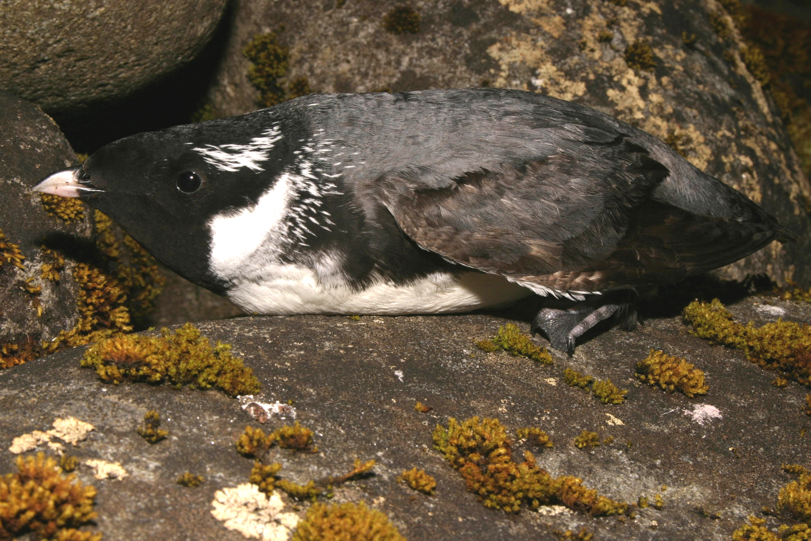 island-conservation-haida-gwaii-ancient-murrelet