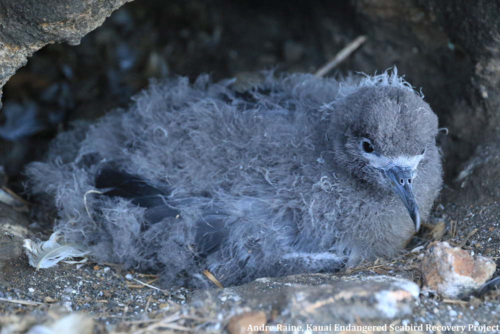 island-conservation-preventing-extinctions-lehua-island-hawaii-seabird-chick-closeup