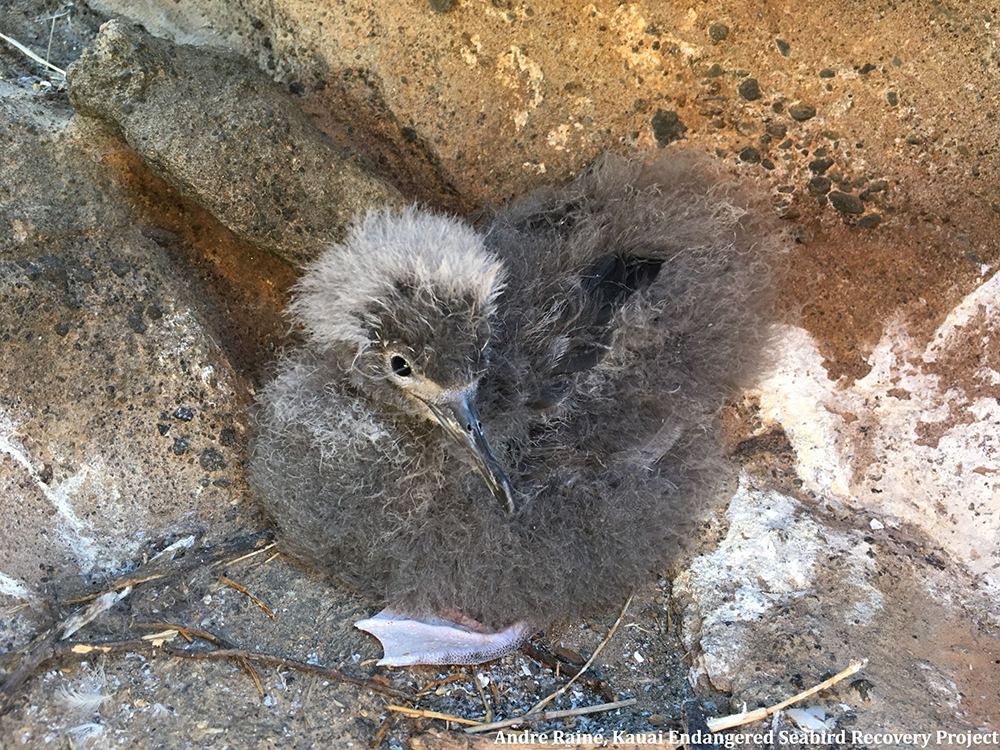 island-conservation-preventing-extinctions-lehua-island-hawaii-seabird