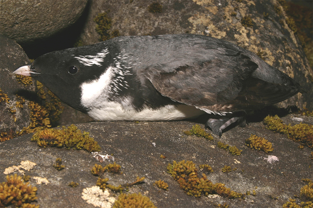 island-conservation-preventing-extinctions-wildlife-ethics-ancient-murrelet