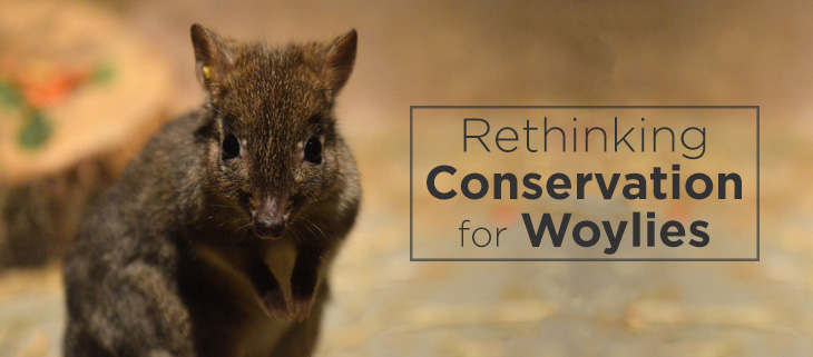 island-conservation-woylie-conservation-feat