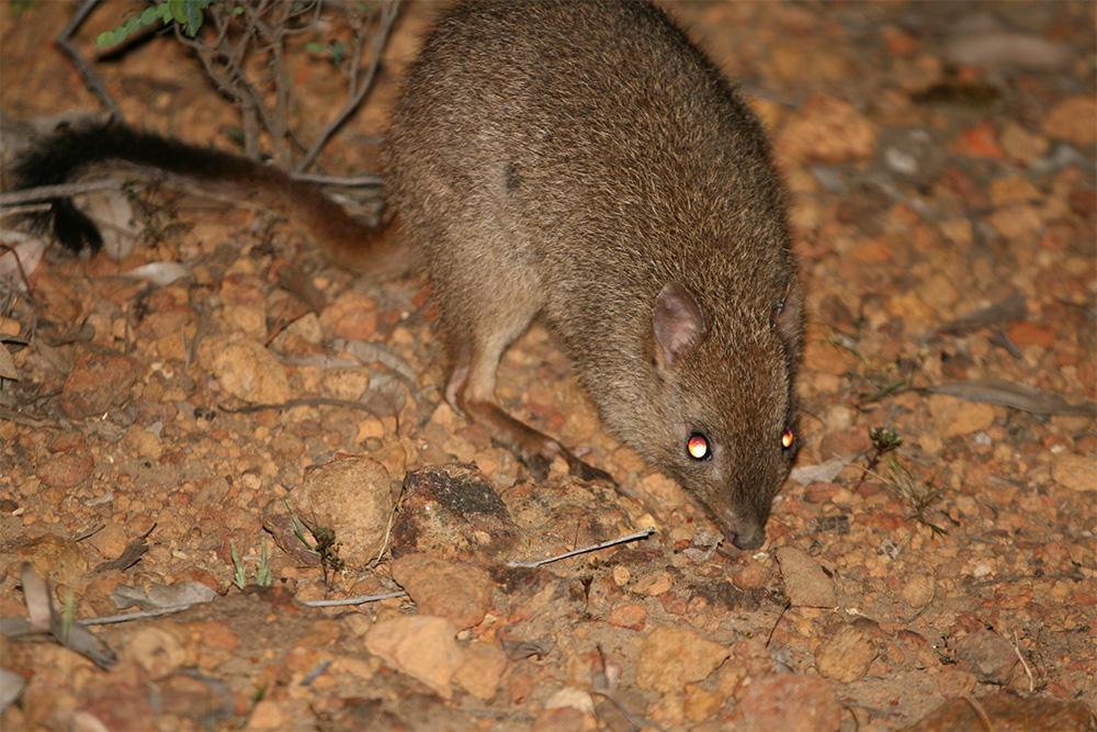 island-conservation-woylie-parasites-conservation