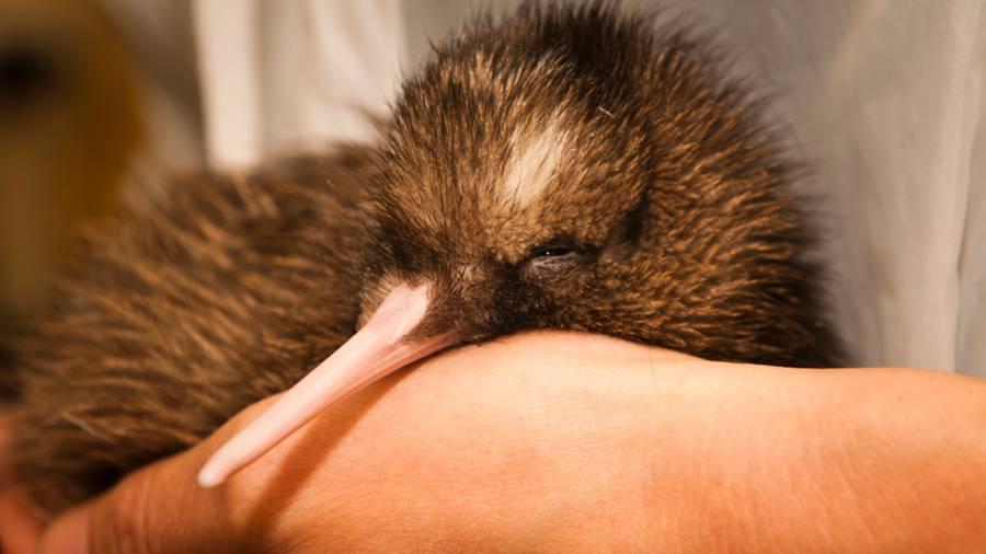 island-conservation-Rowi-Kiwi