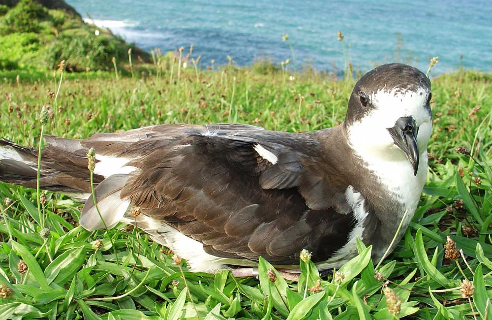 island-conservation-hawaiian-petrel