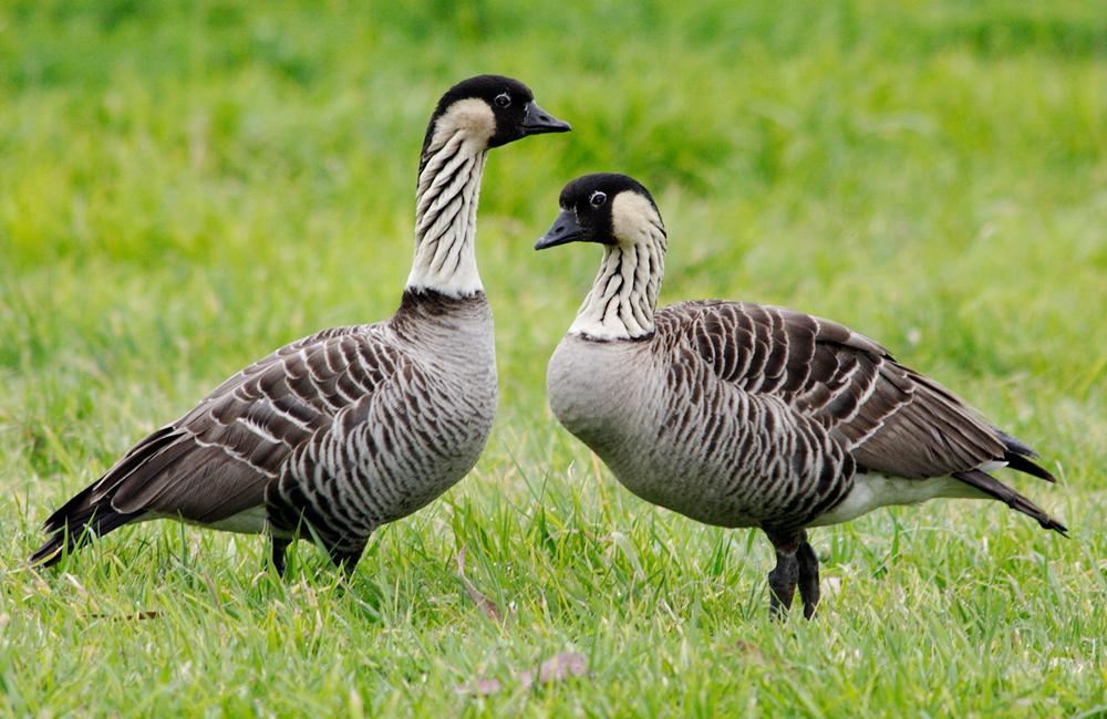 island-conservation-nene-hawaiian-goose