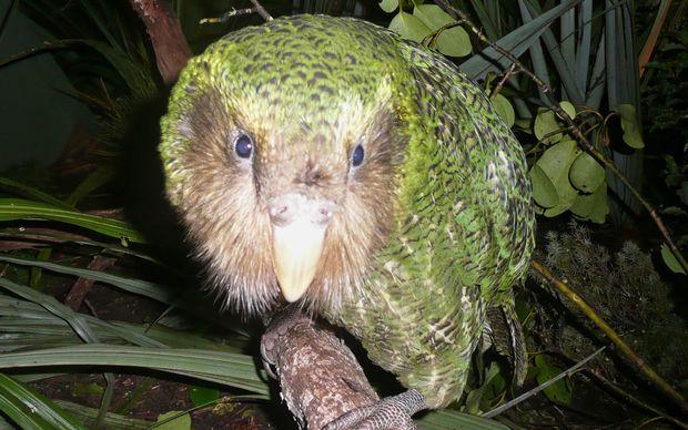 island-conservation-Kākāpō