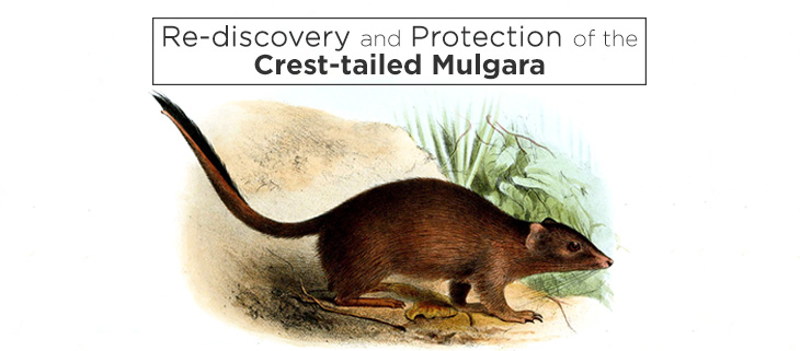 island-conservation-crest-tailed-mulgara-feat
