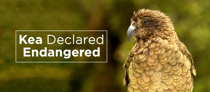 island-conservation-kea-endangered-feat