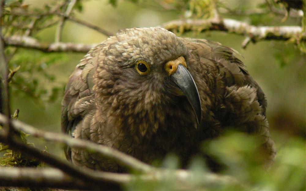 island-conservation-kea-endangered