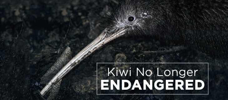 island-conservation-kiwi-not-endangered-feat