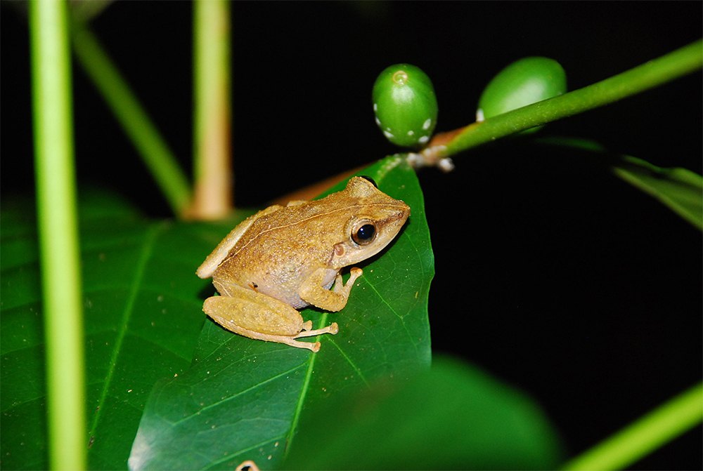 island-conservation-preventing-extinctions-coqui-frog2