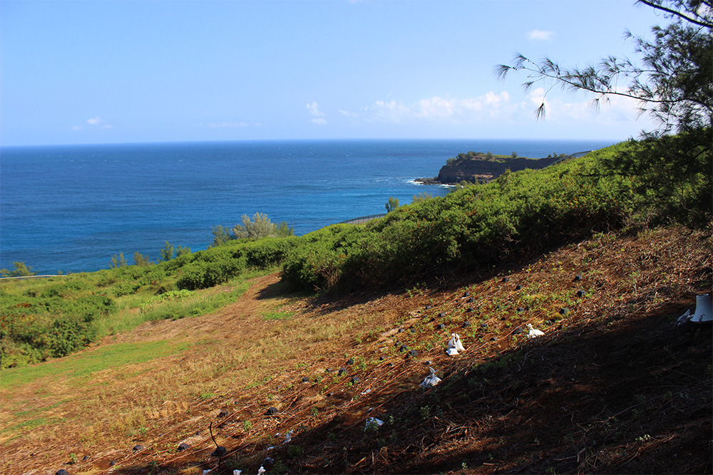 island-conservation-hawaii-seabird-relocation-petrel-nests