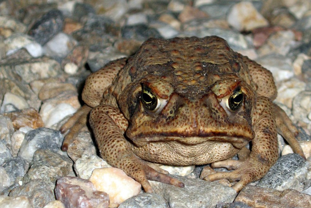 island-conservation-invasive-cane-toad