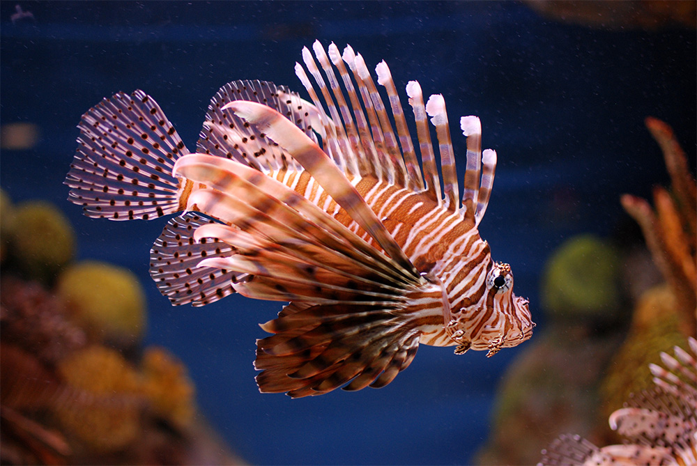 island-conservation-invasive-lionfish