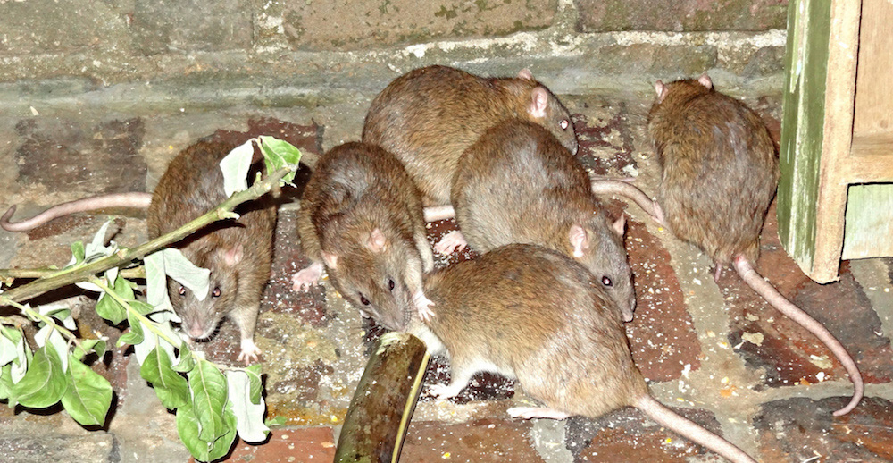 island-conservation-invasive-rats
