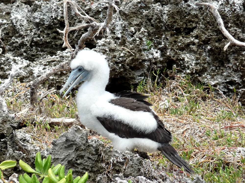 island-conservation-invasive-yellow-crazy-ant-abbotts-booby