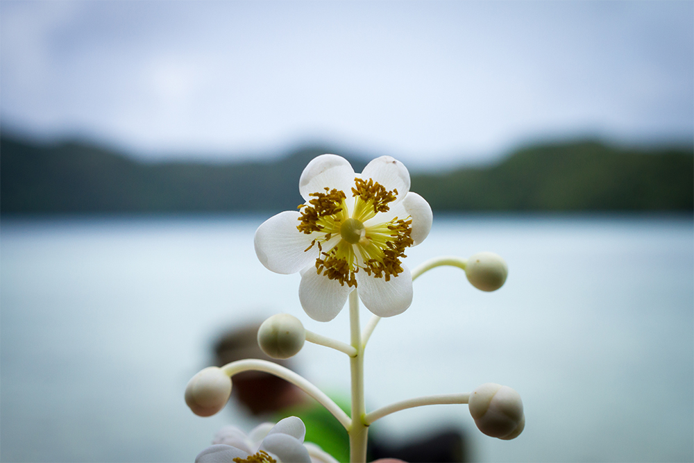 island-conservation-preventing-extinctions-kayangel-palau-flower-person