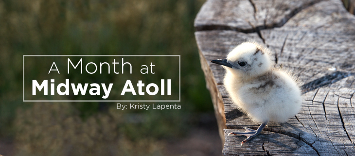 island-conservation-midway-atoll-white-tern-feat
