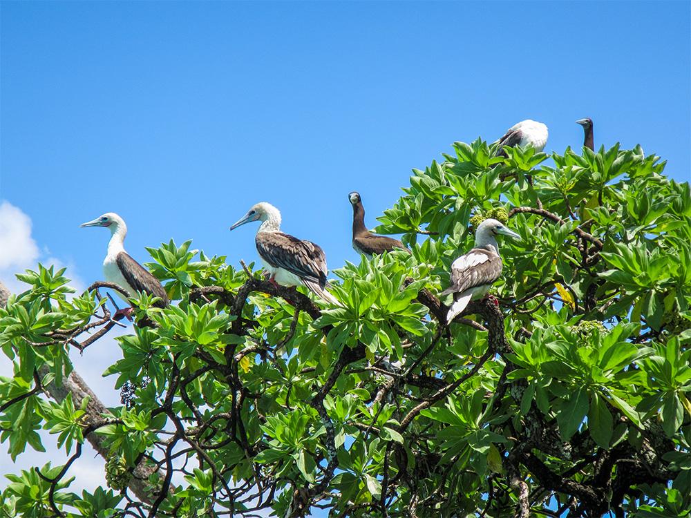 island-conservation-palmyra-atoll-booby-flock
