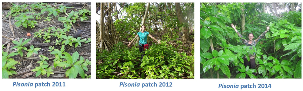 island-conservation-palmyra-atoll-pisonia-regrowth