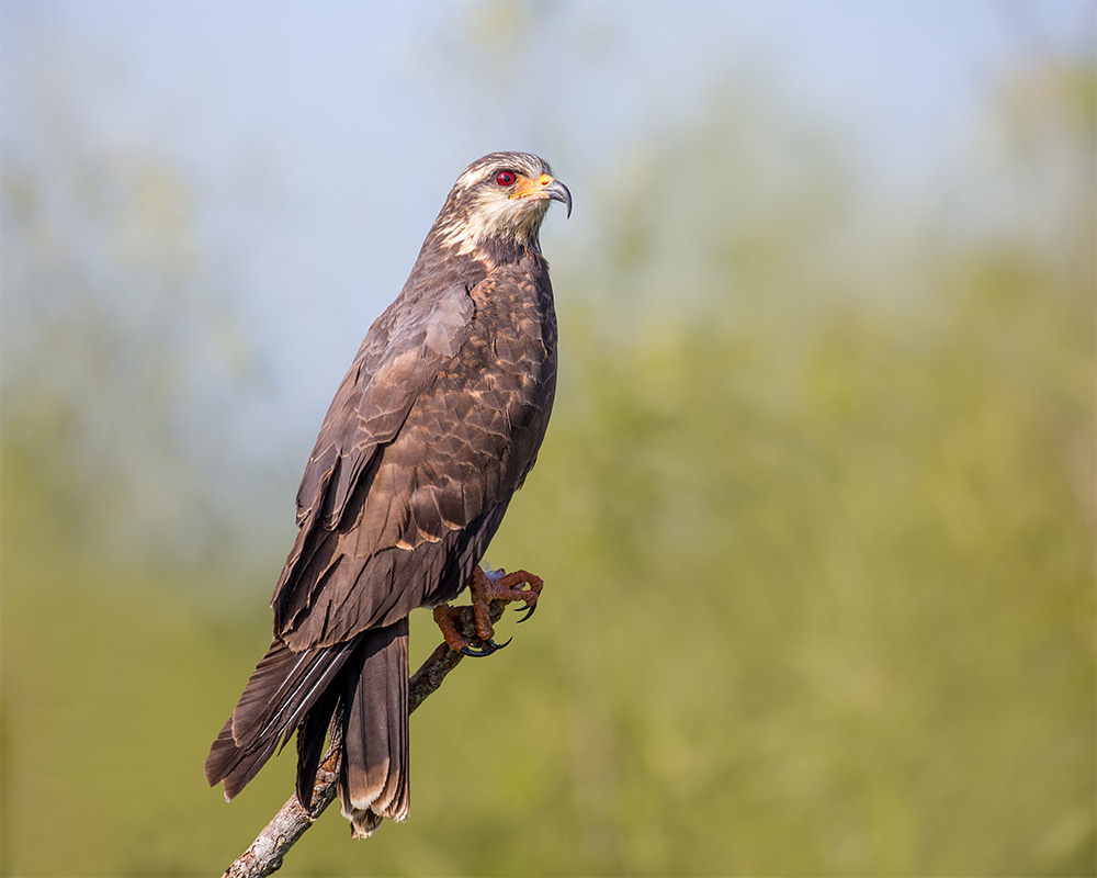 island-conservation-snail-kite-perch