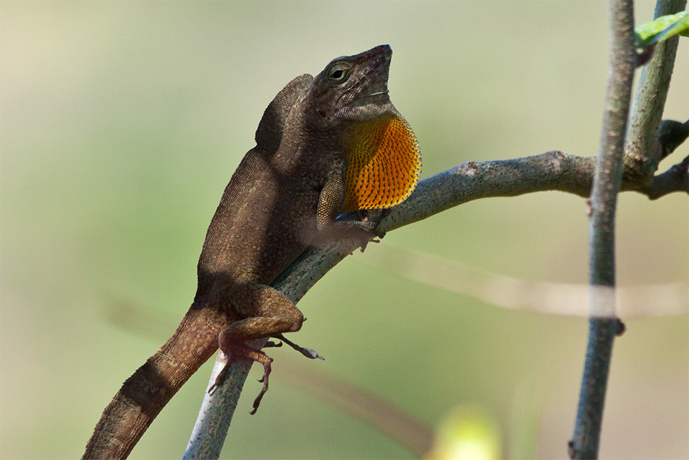 island-conservation-success-desecheo-anole
