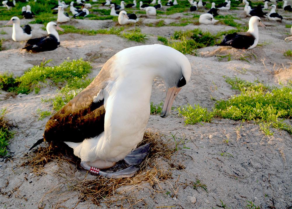 island-conservation-wisdom-chick