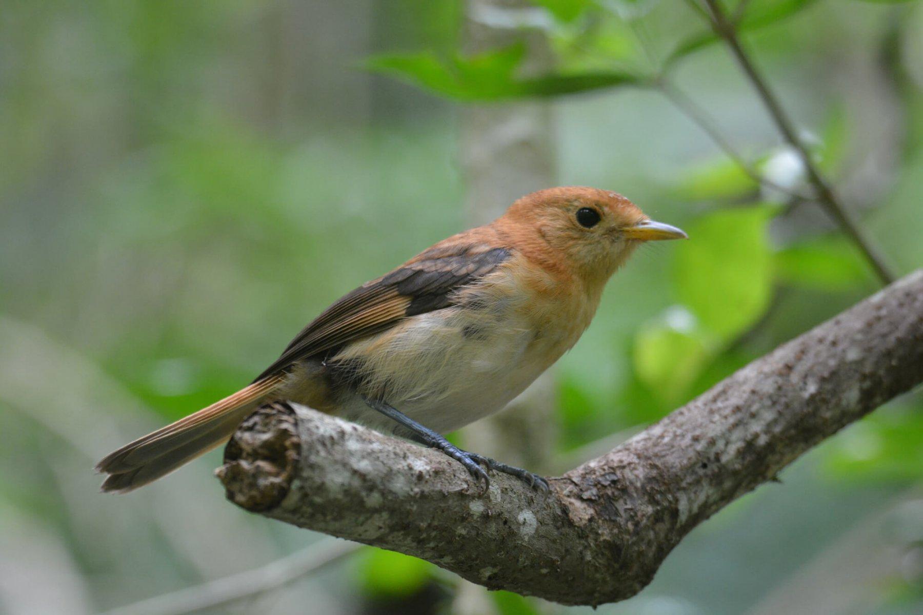 island-conservation-tahiti-monarch