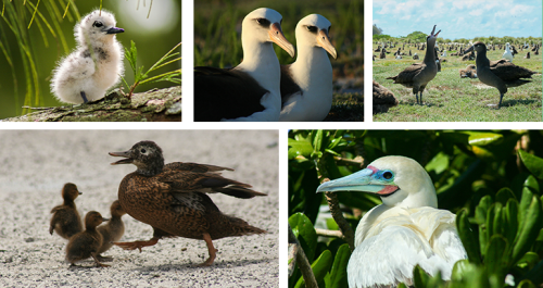island-conservation-midway-atoll-seabirds