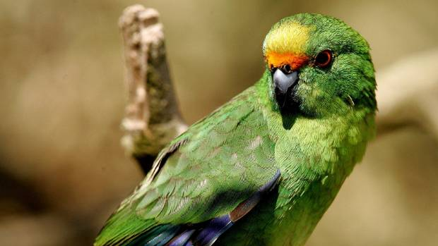 island-conservation-orange-fronted-parakeet