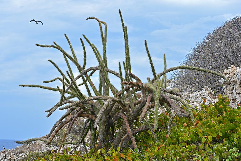 island-conservation-higo-chumbo-cactus