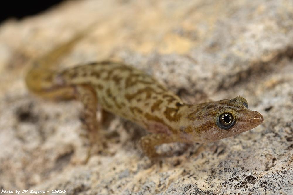 island-conservation-monito-gecko