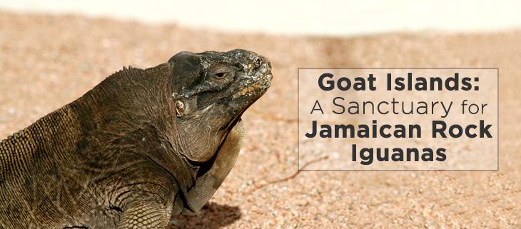 island-conservation-goat-island-jamaican-rock-iguana-feat