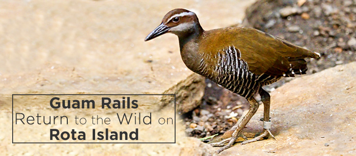 island-conservation-guam-rail-return-wild-feat